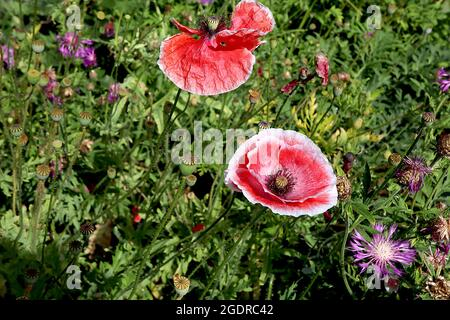 Papaver rhoeas Shirley Double Mixed corn poppy 'Shirley Double Mixed' – red flowers with white margins and centre, creased petals,  July, England, UK