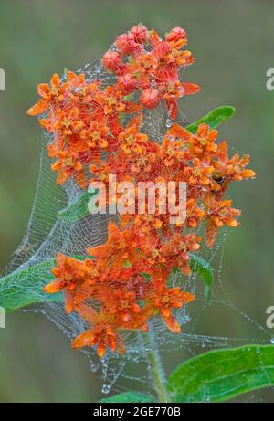 Butterfly Milkweed (Asclepias tuberosa) in bloom covered with dewy spiderweb, E USA, by Skip Moody/Dembinsky Photo Assoc