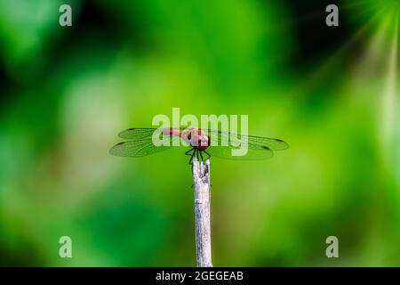 Red dragonfly on a stick against green background