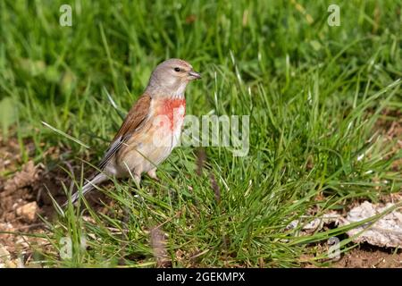 Common Linnet (Linaria cannabina),  adult male standing in the grass, Abruzzo, Italy