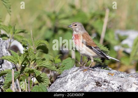 Common Linnet (Linaria cannabina),  adult male standing on a rock, Abruzzo, Italy