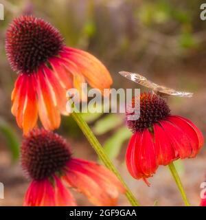 A common buckeye butterfly feeding on echinacea blooms.