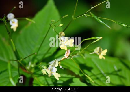 small balsam or small-flowered touch-me-not, Kleines Springkraut, Impatiens parviflora, kisvirágú nebáncsvirág, Hungary, Magyarország, Europe