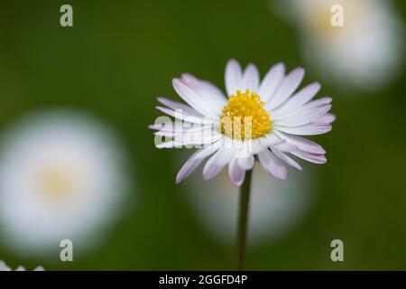 Gänseblümchen, Ausdauerndes Gänseblümchen, Mehrjähriges Gänseblümchen, Maßliebchen, Tausendschön, Bellis perennis, English Daisy, common daisy, lawn d