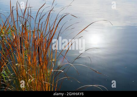 Thickets of reeds near the shore and the reflection of the sun in the water of the lake on an autumn day.