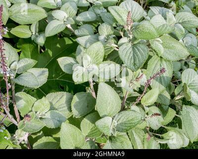 Plectranthus argentatus 'Silbert'