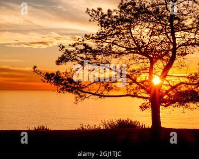 USA, California, La Jolla, Torrey pine tree, Pinus torreyana