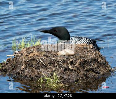 Loon swimming by her nest with two brown eggs in the nest with marsh grasses, mud in its environment and habitat displaying red eye, black and white f