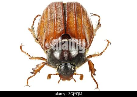 common cockchafer (Melolontha melolontha) from Europe isolated on white background