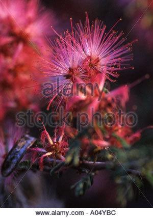 Calliandra eriophylla (fairyduster) flowers close up - Stock Photo