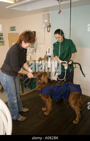 Dog in harness prior to hydrotherapy treatment - Stock Photo