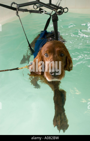 Dog in harness to hydrotherapy pool - Stock Photo