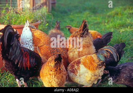 Free range chickens pecking at their feed - Stock Photo