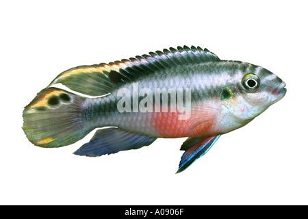 colored perch aquarium fish PELVICACHROMIS PULCHER or PELMATOCHROMIS KRIBENSIS - Stock Photo