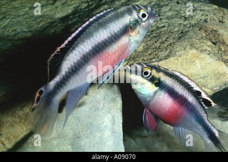 colored perch pair aquarium fish PELVICACHROMIS PULCHER or PELMATOCHROMIS KRIBENSIS - Stock Photo
