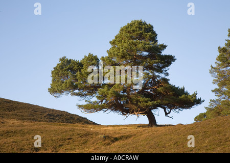 Caledonian ancient old pine tree in Scottish highlands or glen in  Braemar, Royal Deeside, Cairngorms National Park - Stock Photo