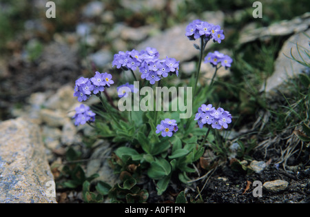 Alpine Forget me not Myosotis alpestris Alps Switzerland - Stock Photo
