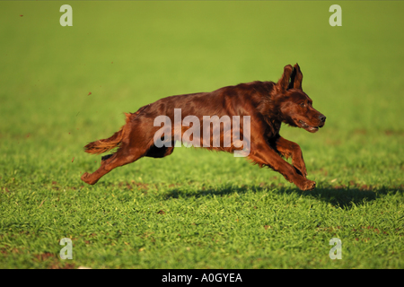 irish setter - running on meadow - Stock Photo