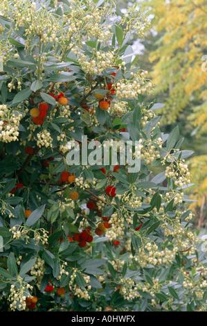 Arbutus unedo Elfin King fruits Strawberry tree - Stock Photo