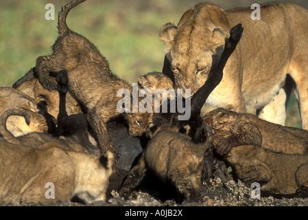 Africa Kenya Masai Mara Game Reserve Mud covered Lion pride Panthera leo feeds on wildebeest kill in Musiara Marsh - Stock Photo