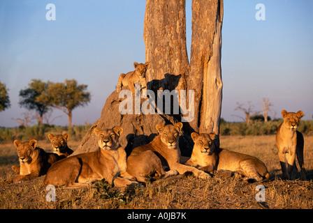 Africa Botswana Chobe National Park Lion pride Panthera leo rests under acacia tree near Rhino Pan in Savuti Marsh - Stock Photo