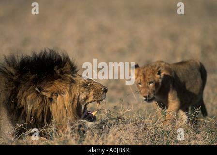 Tanzania Ngorongoro Conservation Area Lion Panthera leo snarls at cub while feeding on Wildebeest in Ngorongoro - Stock Photo