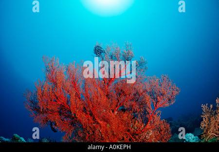 Red Sea fan Gorgonaria sp Manado Sulawesi Celebes Sea Indonesia - Stock Photo