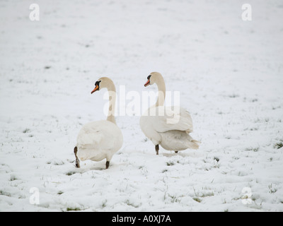 two swans swan couple walking in the snow the Netherlands - Stock Photo