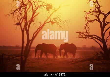 Elephants at sunrise Savute Botswana - Stock Photo