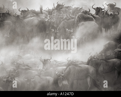 Wildebeest crossing Mara River during the Great Migration Kenya - Stock Photo