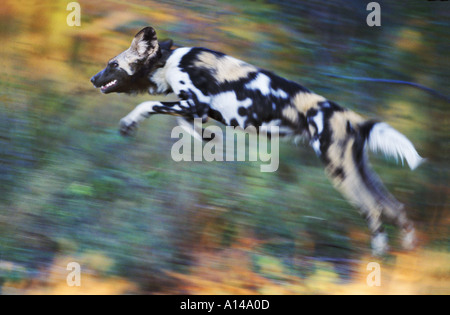 African wild dog leaping South Africa - Stock Photo