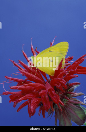 Yellow delicate Sulphur butterfly perches on a bright red bee balm, monarda, flower with a bright blue summer background, - Stock Photo