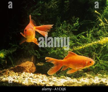 two goldfishes common carps Carassius auratus - Stock Photo