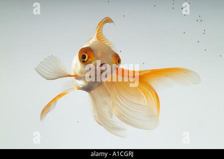 Veiltail Goldfish (Carassius auratus). Single fish in an aquarium - Stock Photo