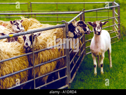 Shorn sheep standing outside pen of sheep waiting to be sheared - Stock Photo