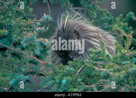 Porcupine in Denali National Park - Stock Photo