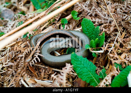 Biting embrace of Slow-worms in bracken - Stock Photo