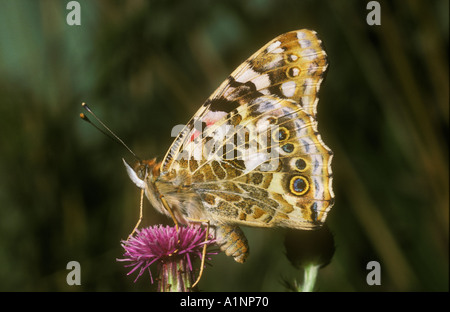 Underwing of Painted Lady - Stock Photo