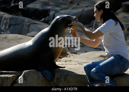 A California sea lion Zalophus californianus having its teeth cleaned by a handler at the National Zoo in Washington - Stock Photo