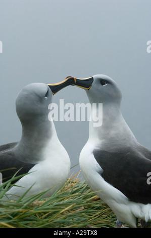 Grey headed Albatross (Diomedea chrysostoma) Courting Pair Bird Island South Georgia Island Scotia Sea - Stock Photo