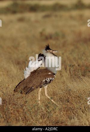 Male Kori Bustard (Ardeotis kori) in a mating display, Kenya. - Stock Photo