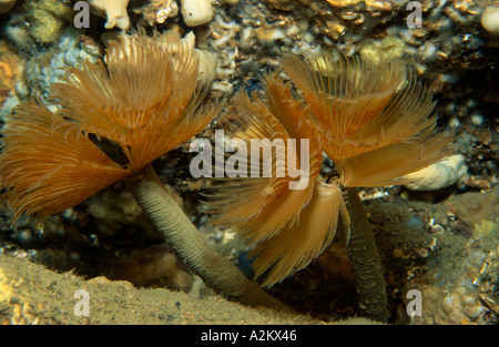 Twin fan worm, Bispira volutacornis - Stock Photo