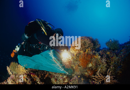 coral diver takes red corals, Corallium rubrum - Stock Photo