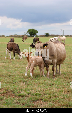Cows grazing in a field - Stock Photo