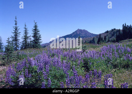 Alpine Lupine blooming at Hurricane Ridge in Olympic National Park Washington State USA - Stock Photo