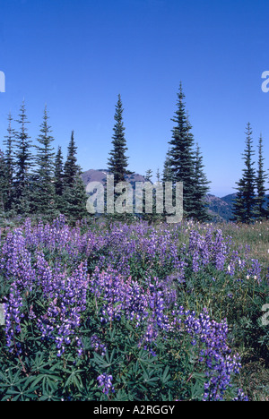 Olympic National Park, Washington State, USA - Alpine Lupine (Lupinus) blooming in Meadow at Hurricane Ridge - Stock Photo