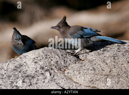 Stellers steller s Jay sequoia national park california tree colorful songbird song bird blue rock granite jays - Stock Photo