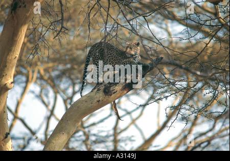 Leopard sitting high in yellow barked Acacia tree at Seronera Valley Serengeti National Park Tanzania - Stock Photo