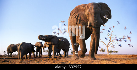 Elephants with birds Savuti Northern Botswana - Stock Photo