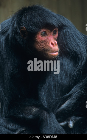 Red-Faced Black Spider Monkey Abeles paniscus - Stock Photo